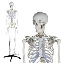YA/L011 Human Skeleton Model 180cm Tall